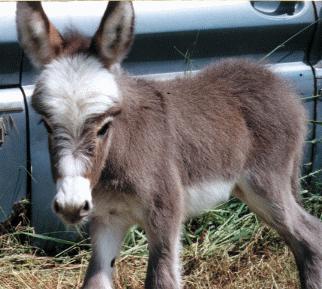On Buying Miniature Donkeys