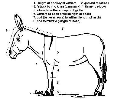 Donkey conformation and proportions cont