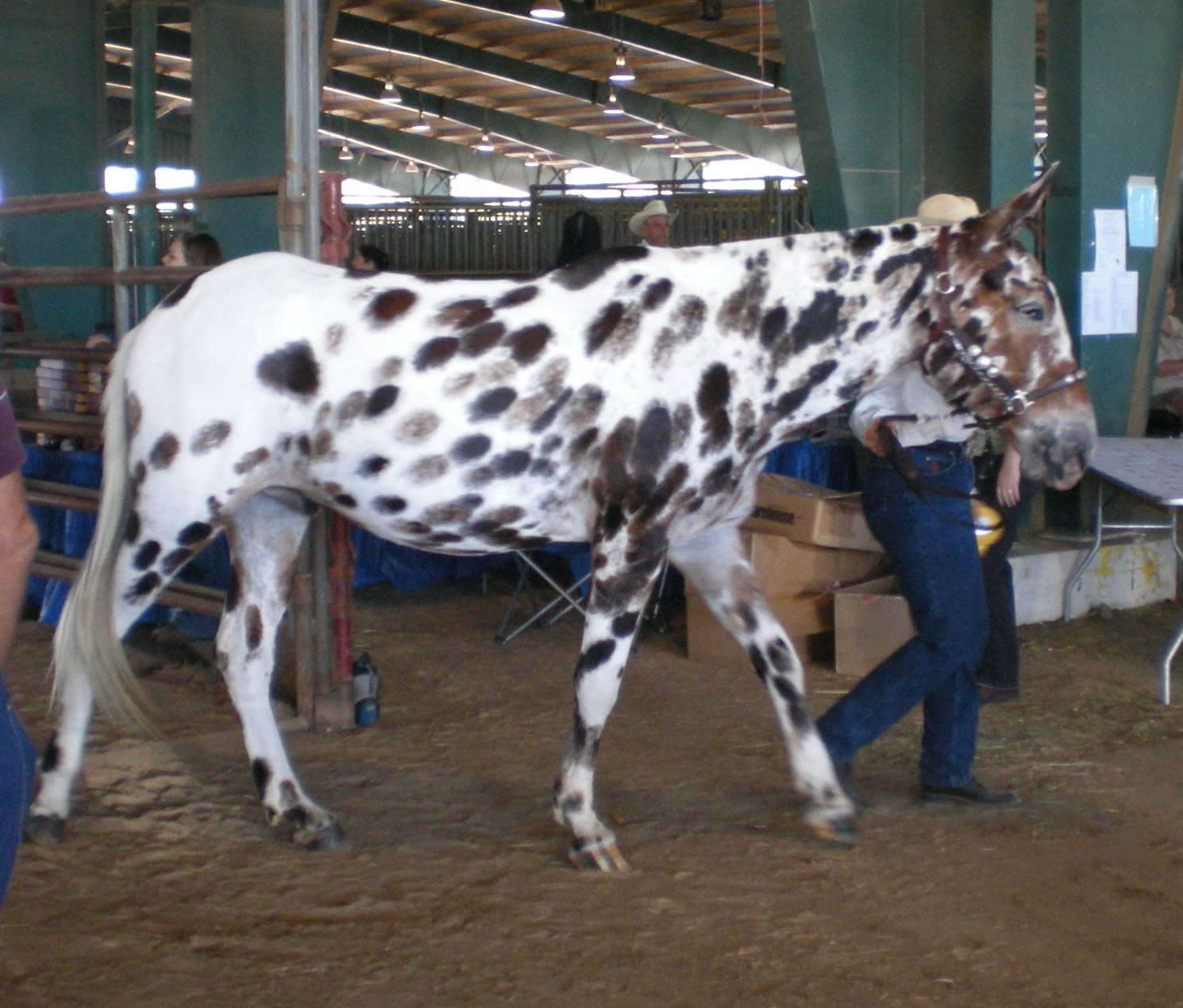 """spotted horses vs mule in the Originally bred to mate with horses (resulting in mules) a steady supply isn't guaranteed: """"we use spotted jacks and which donkey kicks ass share 2k."""