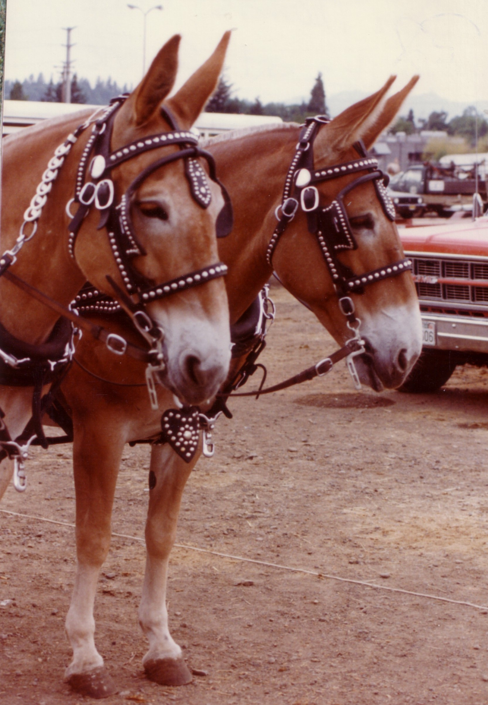 Mules for Sale  Equine Now